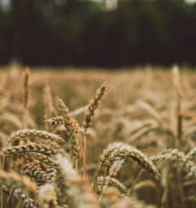 Miotła zbożowa – czym jest i jak ją zwalczyć?